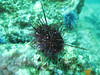 Strange looking sea urchin.  Is it having a bad spine day?
