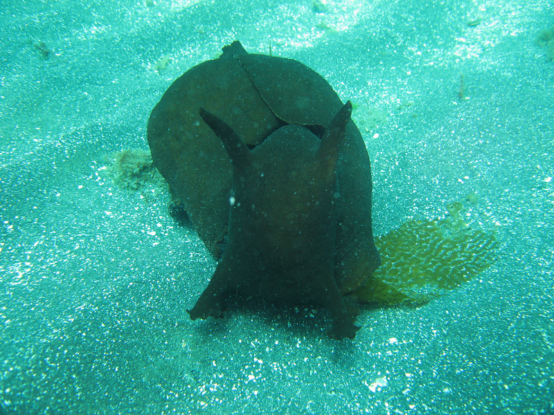 This big Black Sea Hare was speeding across the sand minding its own business before we spotted it.  They are so cute, you just want to pet them.