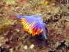This Spanish Shawl nudibranch was hanging upside down, smiling for the camera.