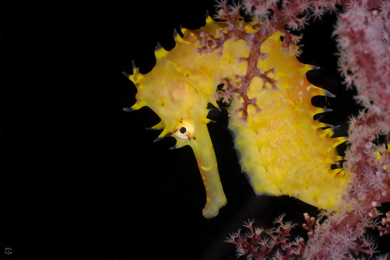 "Many of the seahorses I saw in Anilao were a more neutral color, but this one certainly wasn't like the rest!  This beauty was at ""Sunview"" dive site, in deeper water (~85 ft)."