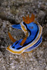 Chromodoris annae - Anna's Chromodoris - This was from a night dive and lots of shrimp and worms tended to obscure the view of this beauty...  I like the UCLA Bruins colors on this one. :-)