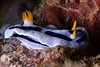 Chromodoris dianae - Diana's Chromodoris - Striking contrast on these...