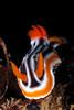 Chromodoris magnifica - Magnificent Chromodoris - Head on shot.  What a magnificent face :-).