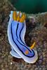 Chromodoris elisabethina - Elisabeth's Chromodoris - Another UCLA Bruin color scheme.  This blue on this one looks like water color :-).