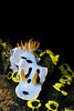 Chromodoris dianae dorid nudibranch (Diana's Chromodoris), on tunicates.  Dive site named Bethlehem.
