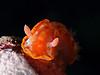 Hexabranchus sanguineus - Spanish Dancer - Juvenile - Little nudi on fire :-).