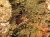 Pandalus danae (Coon-Stripe Shrimp)
