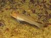 Rhinogobiops nicholsii (Blackeye Goby)