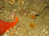 Rhinogobiops nicholsii (Blackeye Goby) next to Bat Star and cup coral.
