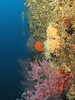 Colorful gorgonians, sponges and anemones along the port side of Valiant
