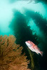 Sheephead and gorgonian in kelp forest
