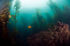 Kelp forest, algae-covered reef, Garibaldi