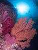 Catalina - Black Rock - Gorgonians, kelp, sun.