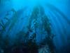 Catalina - Black Rock - Kelp forest