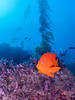 Catalina - Black Rock - This Garibaldi hung out with me for quite a while.  Friendly fish.  Diver in the background.  Visibility was quite good!