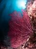 Catalina - Black Rock - Gorgonian, kelp, sun.