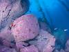 Catalina - Black Rock - Large boulders covered in colorful encrusting algae, kelp, Blacksmith, Garibaldi