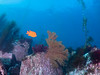 """Catalina - Black Rock - Golden Gorgonian, Garibaldi, red algae, and a bit of """"devil weed"""" Sargassum horneri on left side.  Fortunately there's not too much of the weed (at least that day)."""