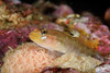Blackeye Goby sitting on mollusk eggs.