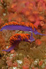 Spanish Shawl nudibranchs (Flabellina iodinea)