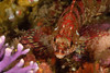 Painted Greenling, Purple Hydrocoral