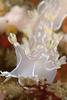 Tritonia festiva nudibranch