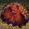A colorful sea urchin, these urchins are almost electric as they give off so much colorful light. Looks like KTV (karaoke) lights in Asia. But lets crop out the middle section in the next shot.