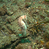 A nice Moluccan Seahorse about 6 inches in length