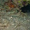 Ringed Pipefish (2 of them, the second one was chasing the first one)