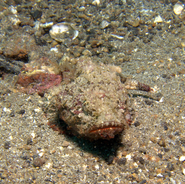 This is muck diving, you will see alot of of this black sand with no corals to speak of. But the sand is full of critters such as this small scorpion fish