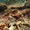 Can you see it? A Raggy Scorpion fish. You will several of these with various colors.