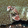 An Anemone crab, this one is about 1 inch (25 mm) in length