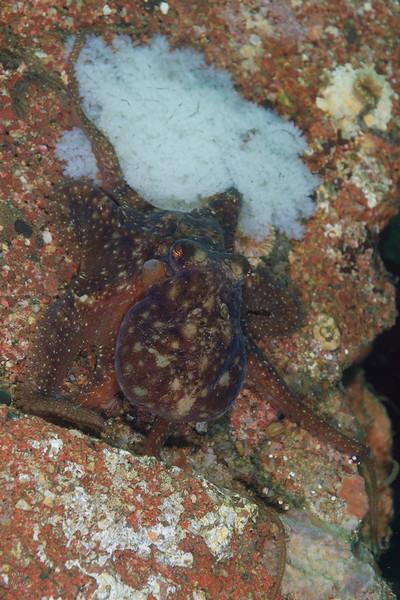 Octomom, guarding white (presumably unfertilized) eggs.