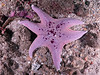 Hawthorne Reef - Bat Star with six arms.  Kind of reminds me of a Star of David.