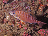 Rainbow Sea Perch, mouth agape