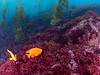 Backside of Catalina Island at Iron Bound Cove, beautiful red algae covering the reef, Garibaldi hanging out in the kelp,.
