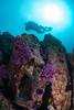 Purple Hydrocoral is found relatively shallow at Gull Island, just off the northwest of Santa Cruz Island.