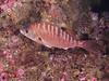 Rainbow Sea Perch