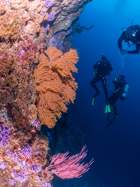 Farnsworth Banks - Divers checking out the beautiful Purple Hydrocorals, Golden and Red Gorgonians.