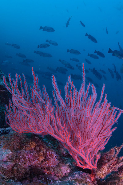 Red gorgonian sea fan with a school of happy blue rockfish in the background, <br /> from Santa Cruz Island.