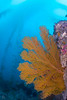 Catalina - Wild West - Golden Gorgonian with giant kelp in background.
