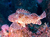 "California Scorpionfish says ""I'm outta here!"" and bolts away from its perch."