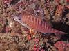 Rainbow Sea Perch, mouth agape