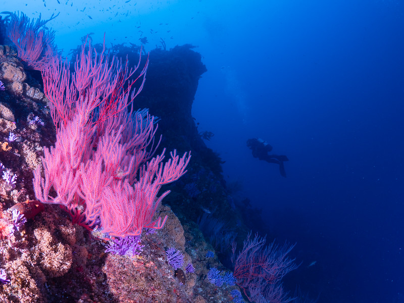 Farnsworth Banks - Red gorgonian, Purple Hydrocoral.  The dramatic reef structure is best seen by being there.  This is a GREAT wall!