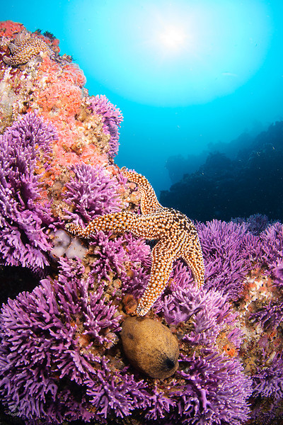 A Sea Star and Keyhole Limpet among Purple Hydrocoral and Corynactis Anemones at Farnsworth Banks.