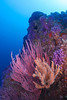 Farnsworth Banks, near Catalina Island.<br /> Red Gorgonian, Yellow Zoanthid Anenomes, Purple Hydrocoral.<br /> The visability was easily 80 ft that day at Farnsworth near the top of the reef.  Just spectacular!