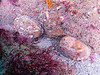 Catalina - Wild West - A pair of fairly large Abalone