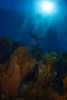 "Beautiful kelp in the clear blue water at ""Window Pane"", San Clemente Island."