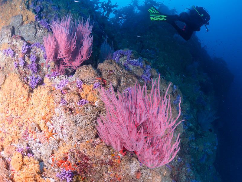 Farnsworth Banks - Returning from the Yellow Wall, beautiful colors of red gorgonian and Purple Hydrocoral.