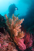 Gorgonian seafans with yellow zoanthid anemones, from Santa Cruz Island, California.